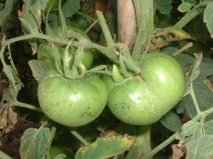 bacteriosis tomate