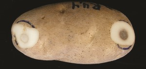 potato bruise figure 2