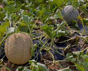 cantaloupe on the vine