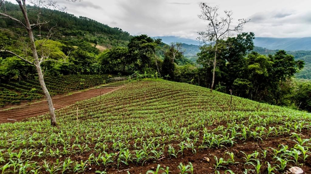 paisaje cultivo de maiz