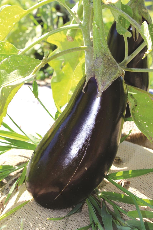 Consejos para la producci n de berenjena hortalizas - Variedades de berenjenas ...