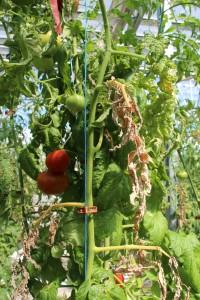planta de tomate enferma