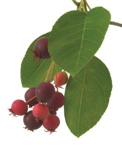 saskatoon variedad berries