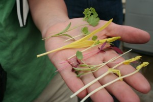hierbas de jardin casero en mano