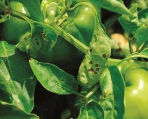 mancha bacteriana bell pepper