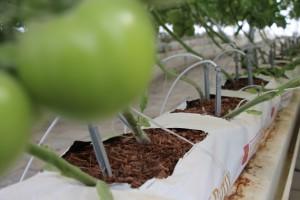 tomate e irrigacion