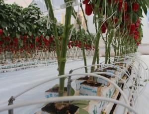 sistema de riego con pimiento en invernadero