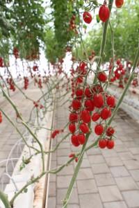 tomates grape en invernadero irapuato