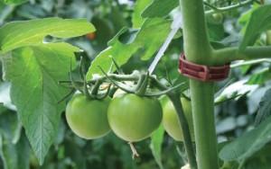 tomate verde beauty shot