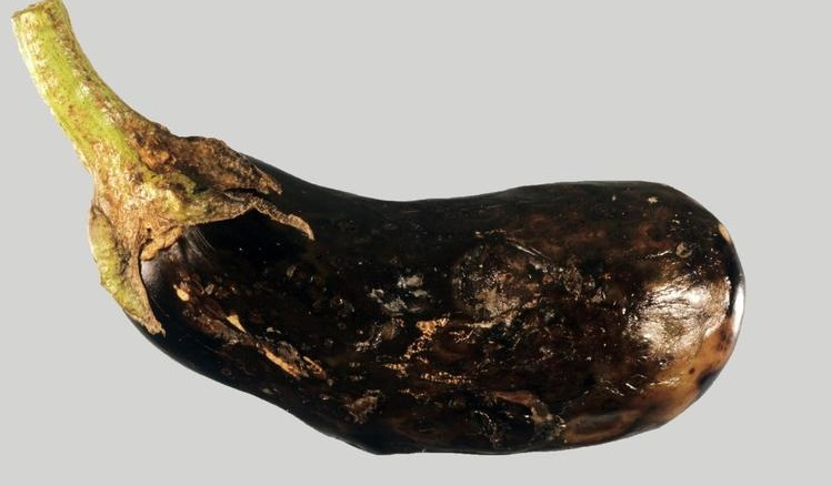 infected eggplant