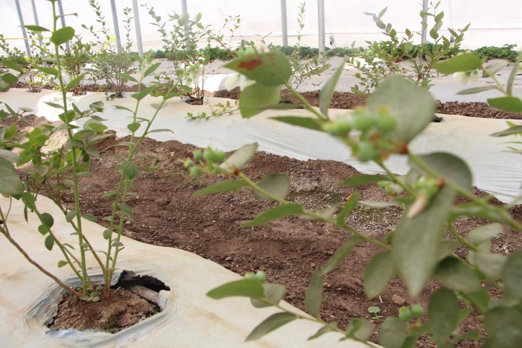 plantilla de arandano