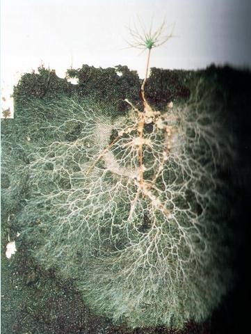 raices micorrizicas
