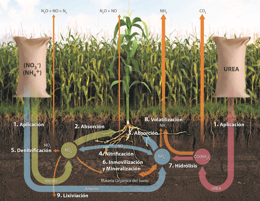 Din mica del ciclo de nitr geno en fertilizaci n de ma z for Que elementos conforman el suelo