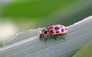 spotted lady beetle, russ otens uga