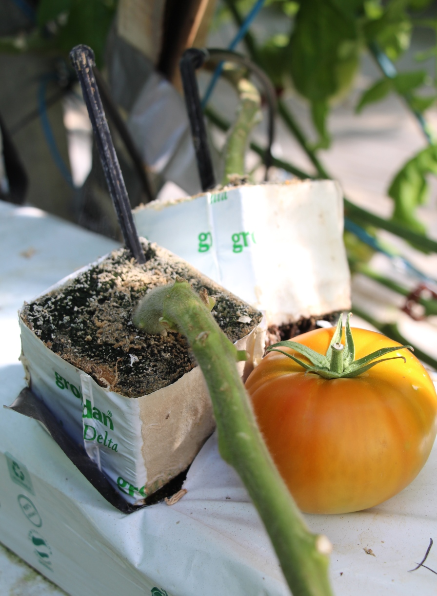 tomate-en-invernadero-sustrato