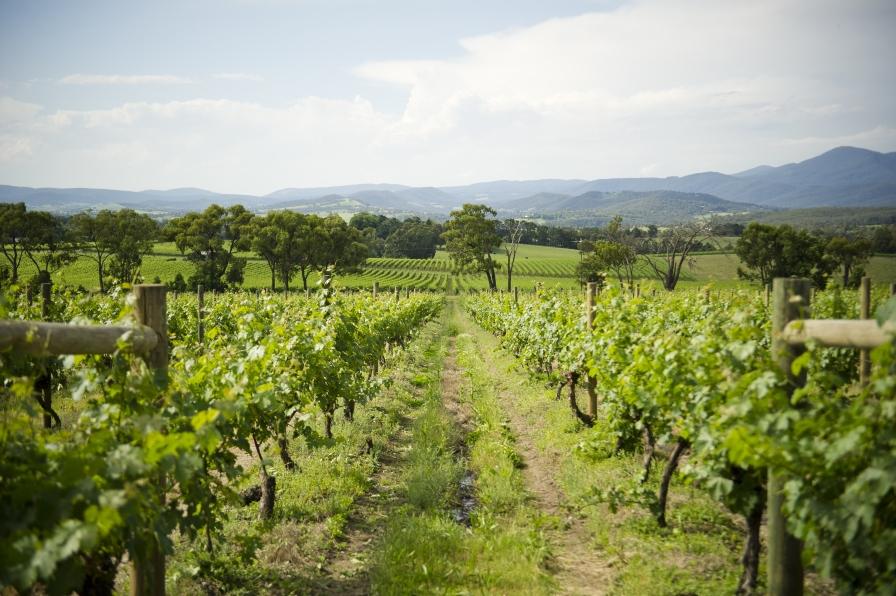Resultado de imagen para Técnicas de manejo integrado del piojo harinoso en regiones vinícolas