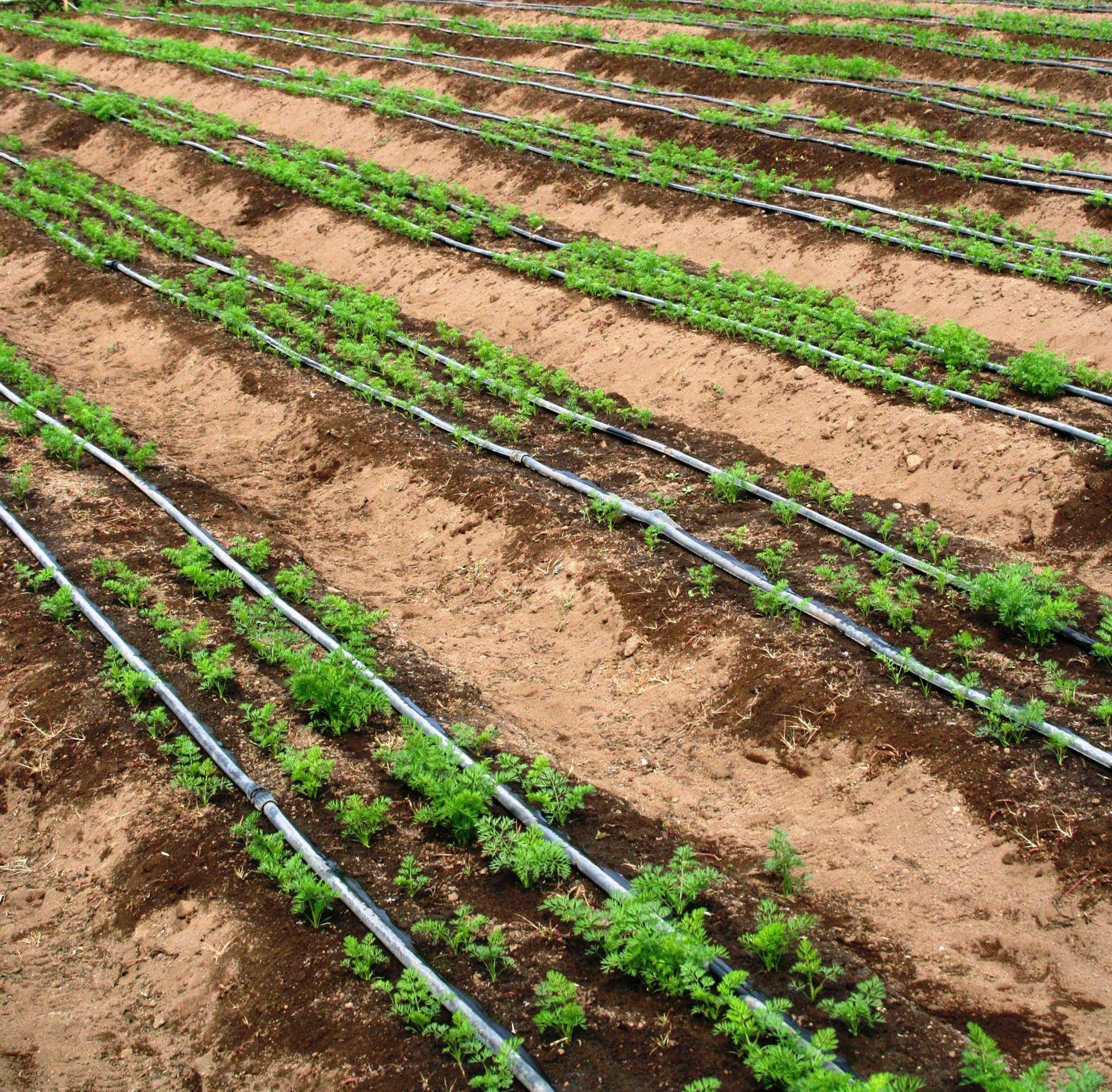 Estrategias para manejar cultivos en una sequ a hortalizas - Manguera para riego por goteo ...